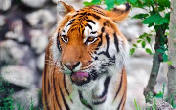 обоя животные, тигры, морда