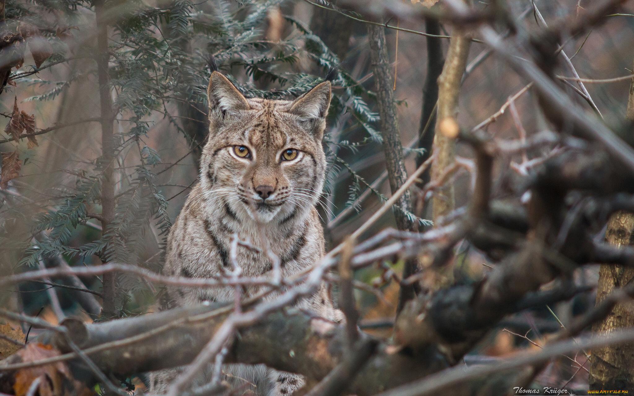 природа животные ветка деревья рысь nature animals branch trees lynx  № 559973 бесплатно