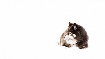 Картинка животные собаки собака снег взгляд