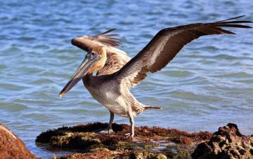 Картинка животные пеликаны каменнь пеликан вода