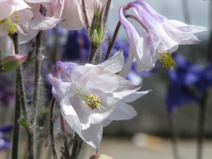 Картинка цветы аквилегия водосбор