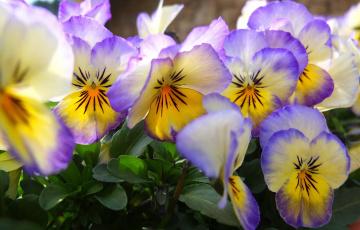 Картинка цветы анютины глазки садовые фиалки сиреневый