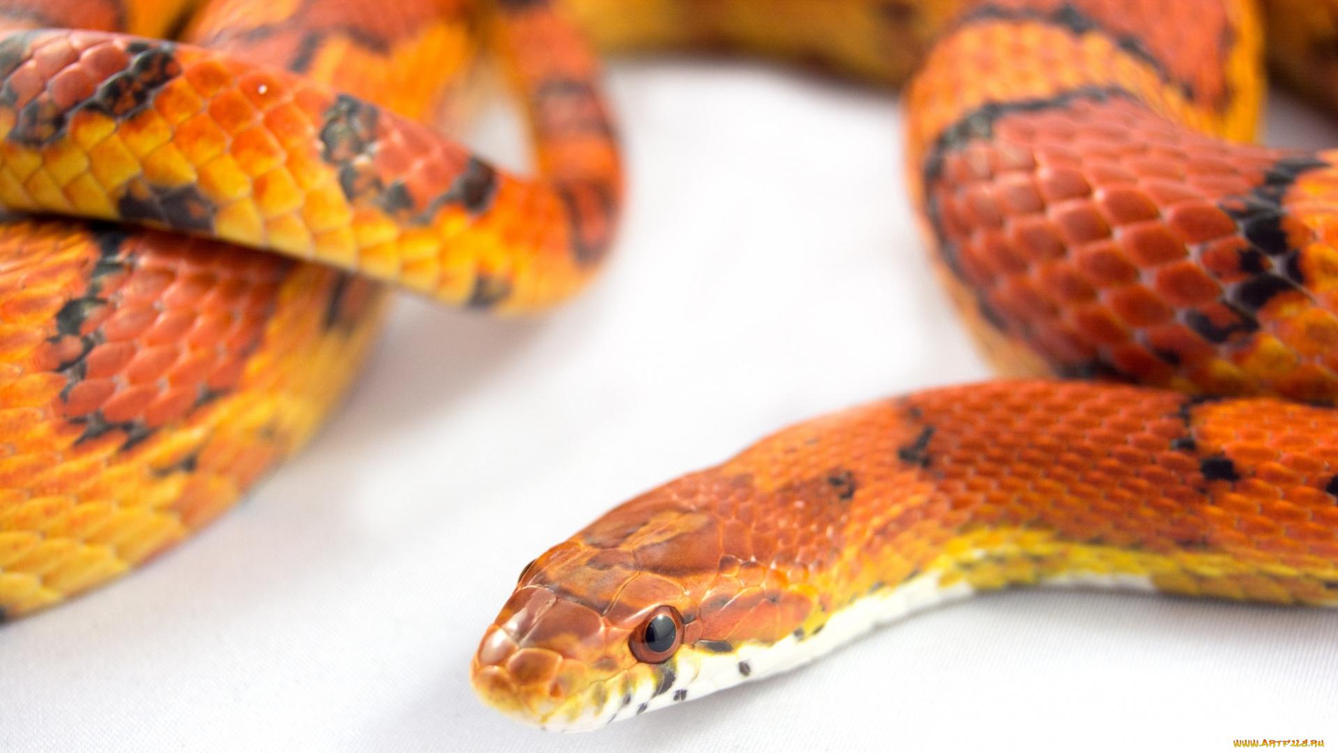 кустовой совершенно фото змеи рыже черная анастасия уверена, что