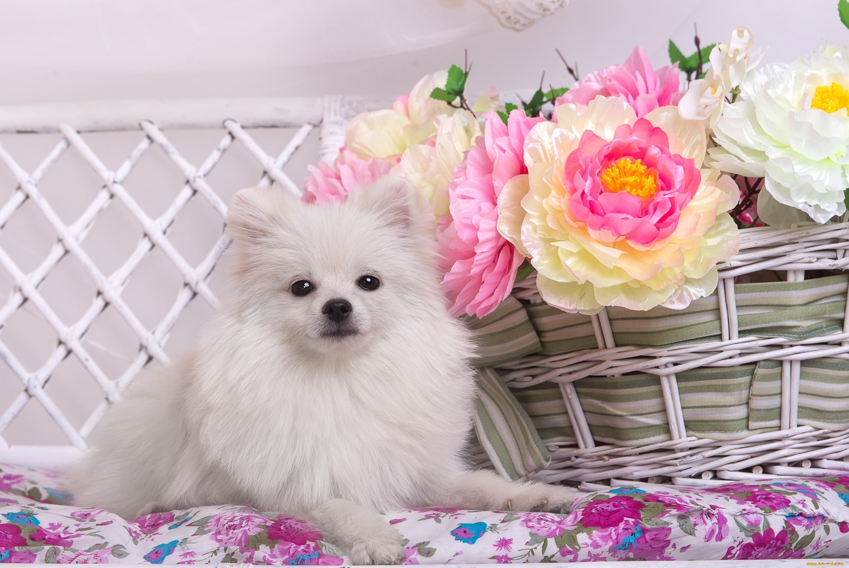 белые собаки щенки животные розовый фон  № 2918053 без смс