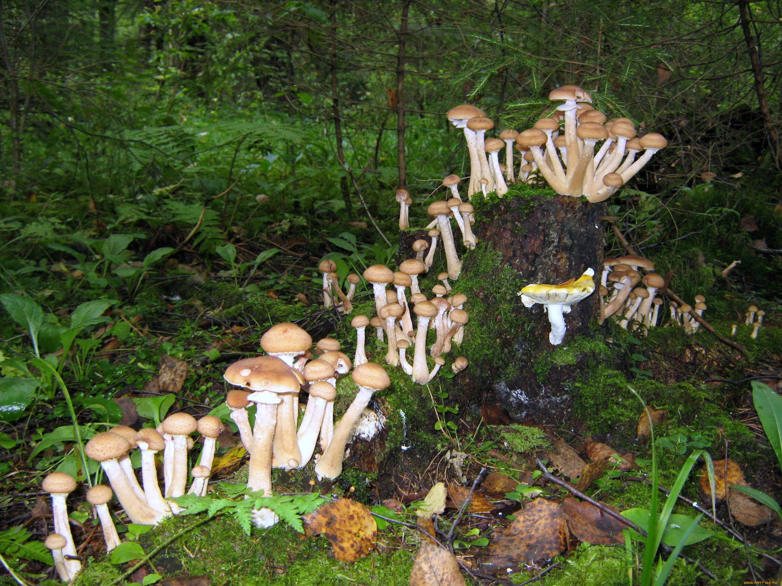 Опята грибы без смс
