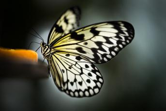 обоя животные, бабочки,  мотыльки,  моли, окрас, крылья, бабочка
