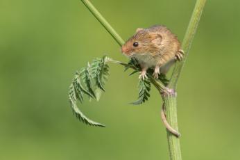 обоя животные, крысы,  мыши, мышка