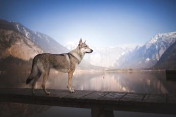 обоя животные, собаки, прогулка, сабака, вода, мостик