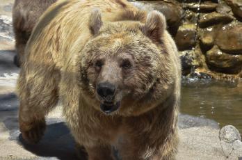 обоя животные, медведи, мишка