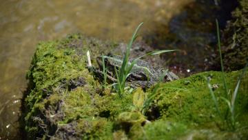 обоя животные, лягушки, тина, река, лягушка