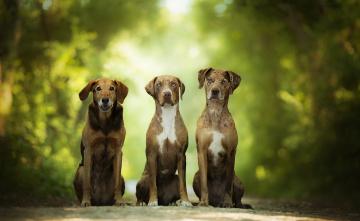 обоя животные, собаки, зелень, боке, три
