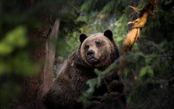 обоя животные, медведи, медведь, топтыгин, лес