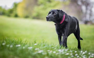 обоя животные, собаки, черный, идет, трава, весна, газон, цветы, собака, крупный, фон, природа, пёс, поляна, зелень, лужайка
