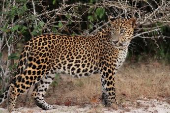 Картинка животные леопарды леопард leopard профиль морда взгляд пятна хищник песок трава кусты колючки