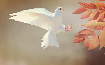 обоя животные, голуби, листья, ветка, полёт, голубь, птица, птицы, мира