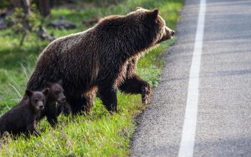 обоя животные, медведи, природа, дорога, три, медведя, детёныши, медвежата, медведица, хищники