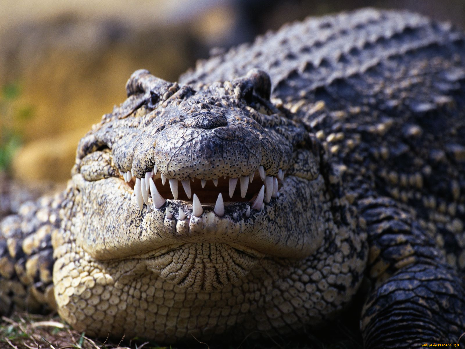 Картинки крокодилы, самой