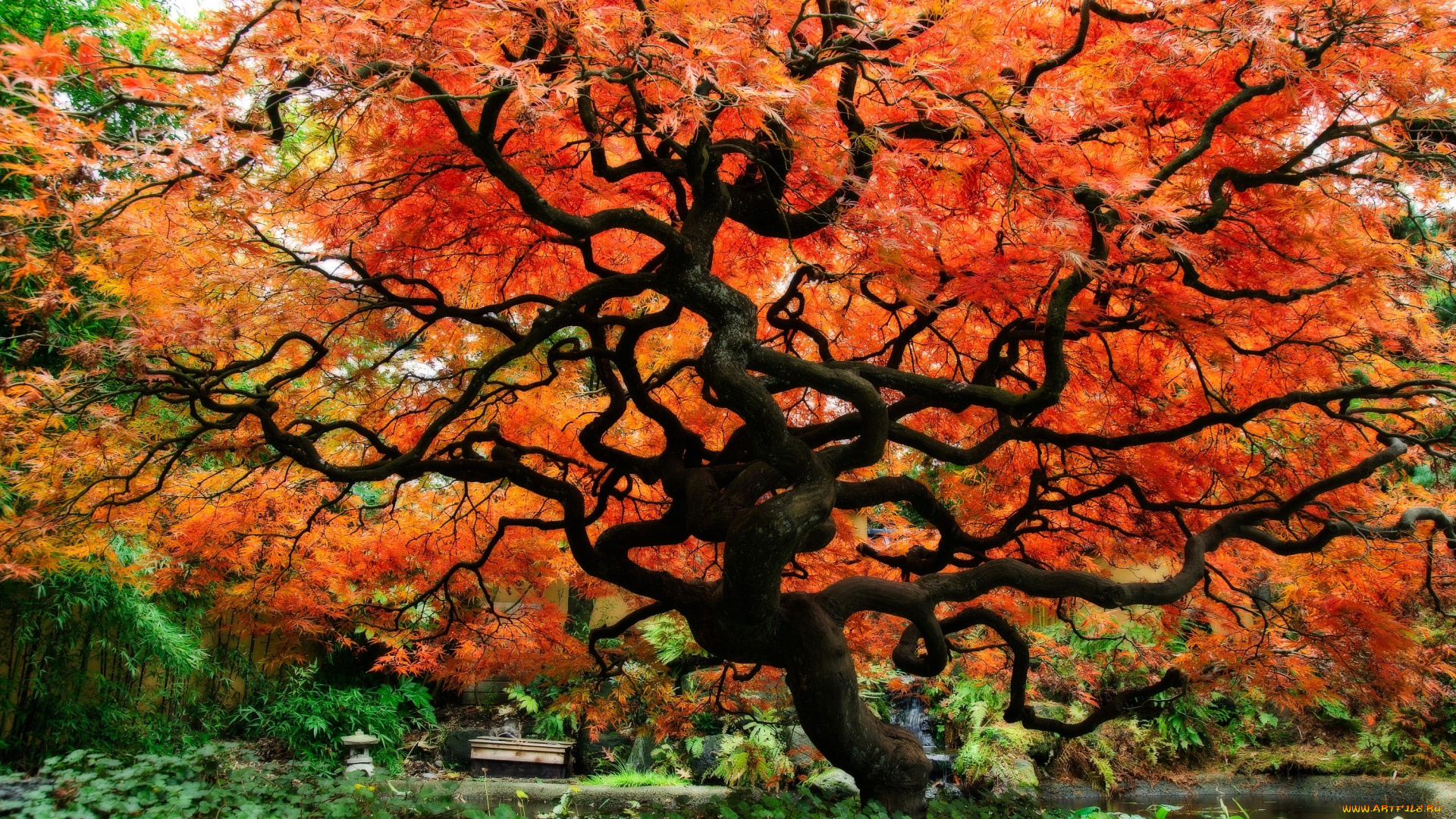 дерево японское красное онлайн