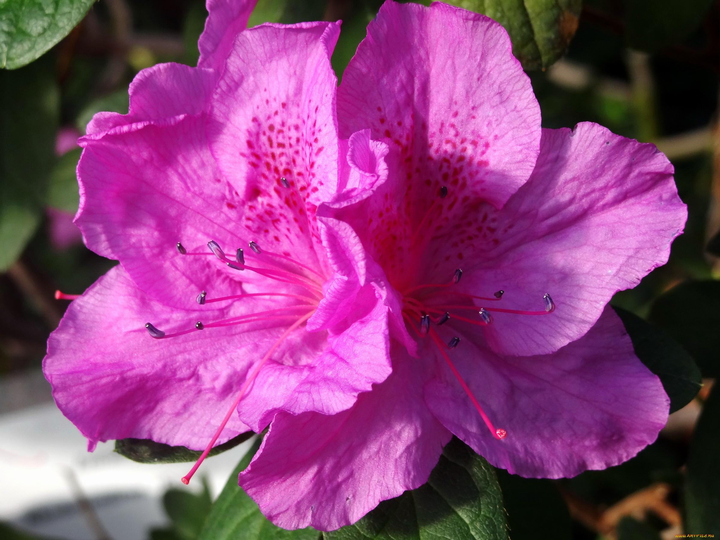 Днем, цветы азалия открытки