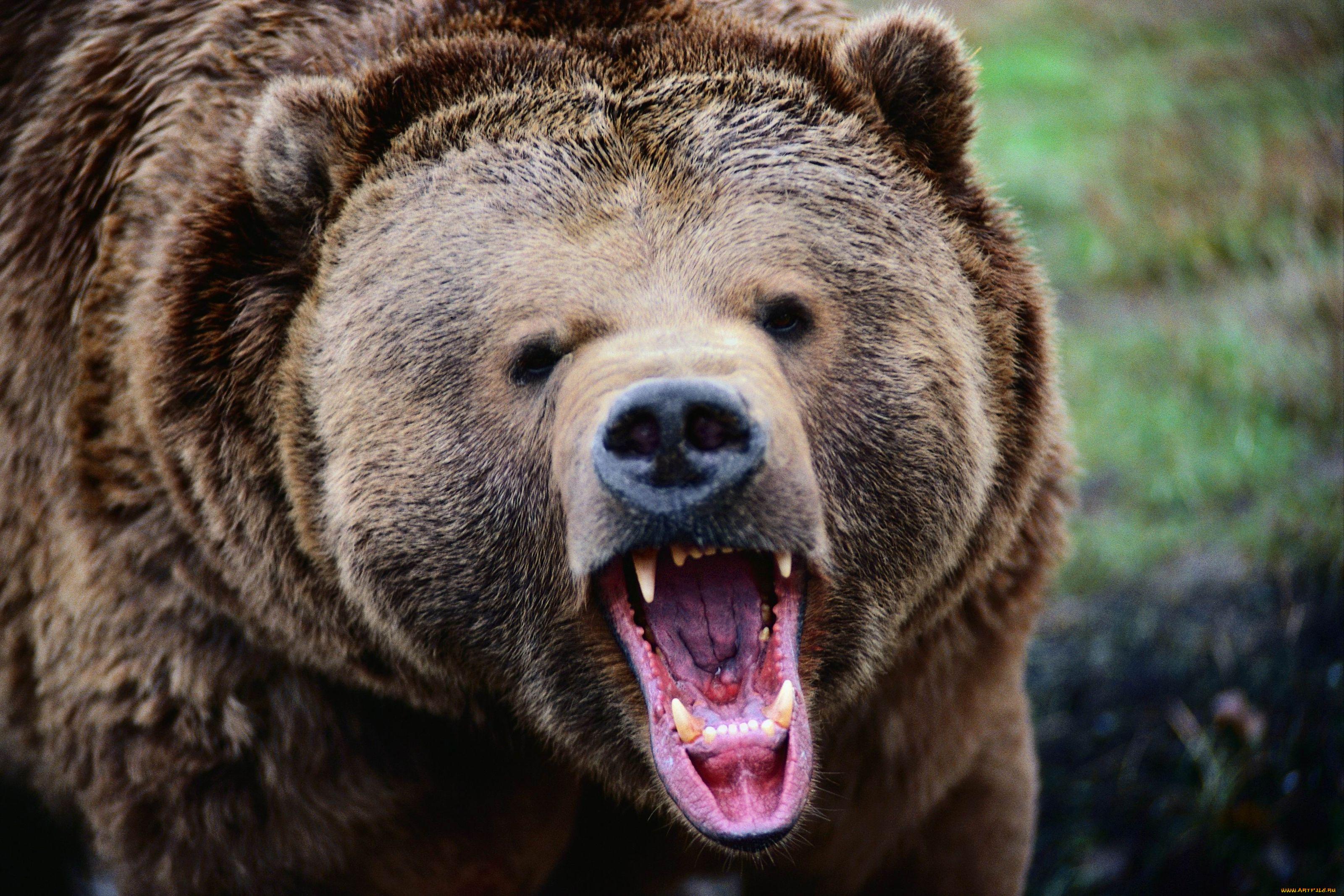 Медведь гризли прикольные картинки