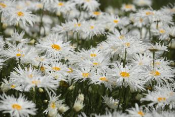обоя цветы, ромашки, цветение, лепестки, белая, ромашка