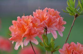 обоя цветы, рододендроны , азалии, цветение, весна, природа, рододендрон