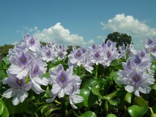 Картинка цветы гиацинты листья лето