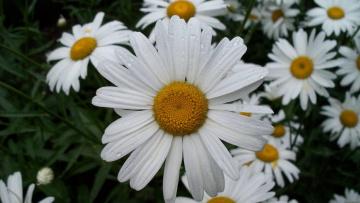 Картинка ромашка цветы ромашки большая крупно