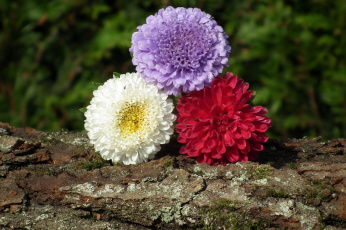 обоя цветы, астры, трио