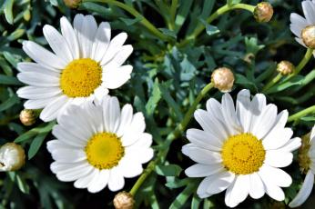 обоя цветы, ромашки, трио