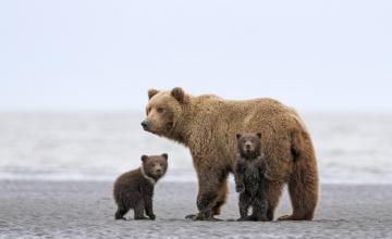 обоя животные, медведи, медведица, медвежата, песок, море, берег