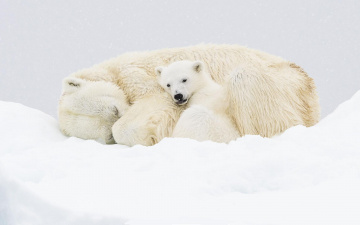 обоя животные, медведи, белые, снег, медвежонок, медведица, полярные