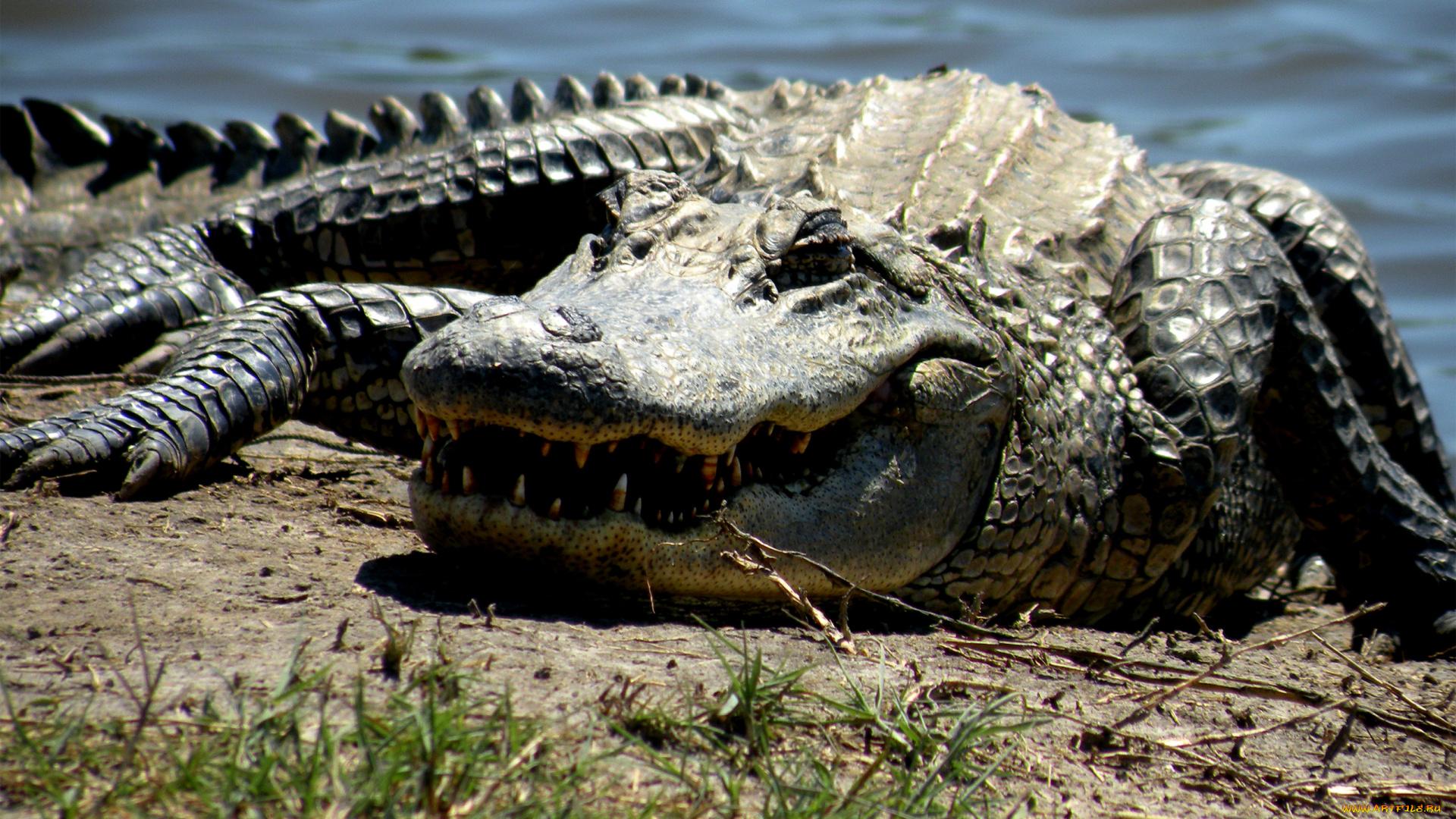 владелец, или, крокодил фото картинки этой причине
