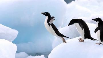 обоя животные, пингвины, снег, прыжок, лед, адели