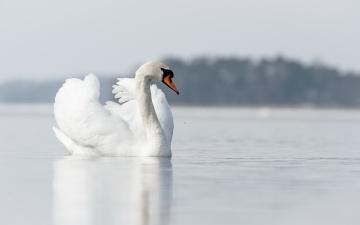 Картинка животные лебеди природа озеро лебедь
