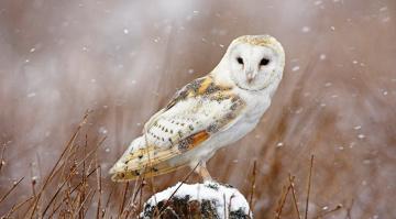 обоя животные, совы, сипуха, птица, снег, зима, пень, трава