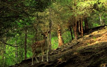 обоя животные, олени, олень, лес