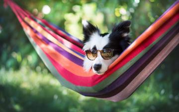 обоя животные, собаки, собака, гамак, очки