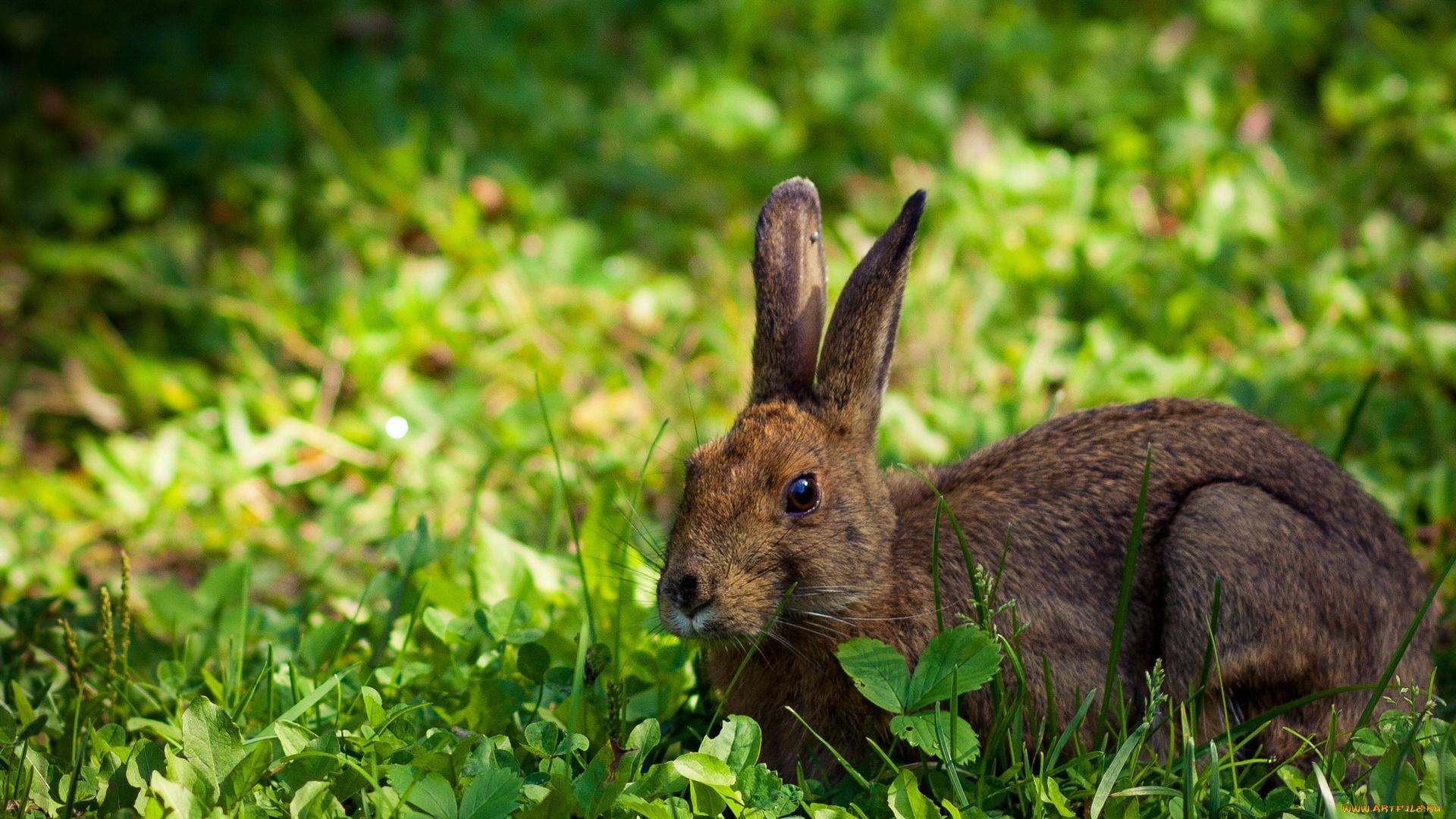 природа животные заяц nature animals hare  № 103348 бесплатно