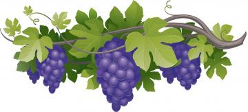 Картинка векторная+графика еда лоза виноград листья