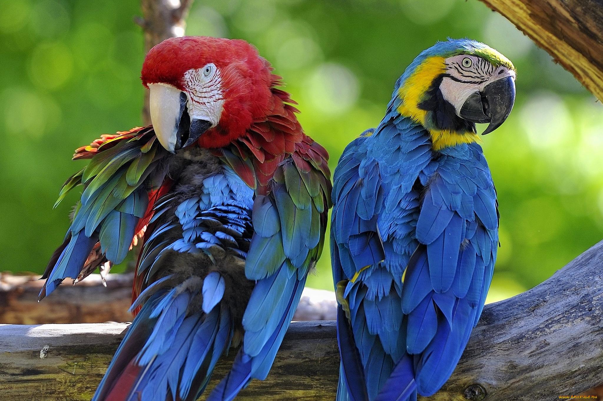 Попугай ствол ветка без смс