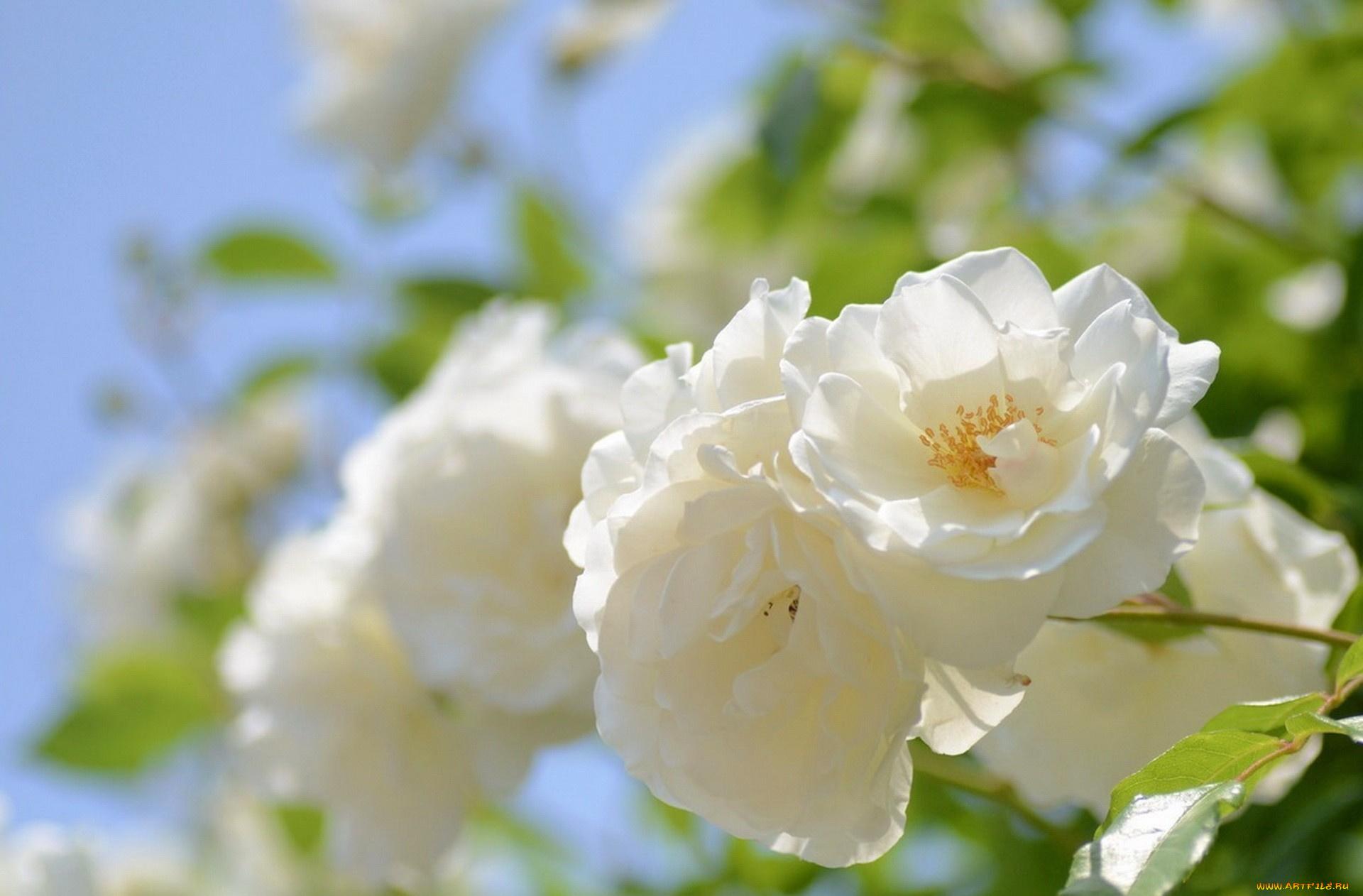природа цветы белые без смс