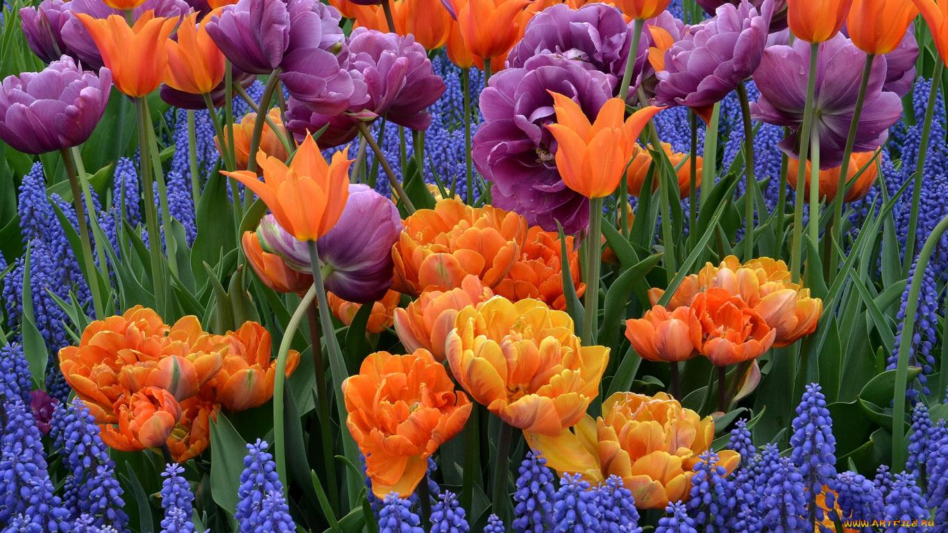 Фиолетовые тюльпаны в саду  № 1325907 загрузить