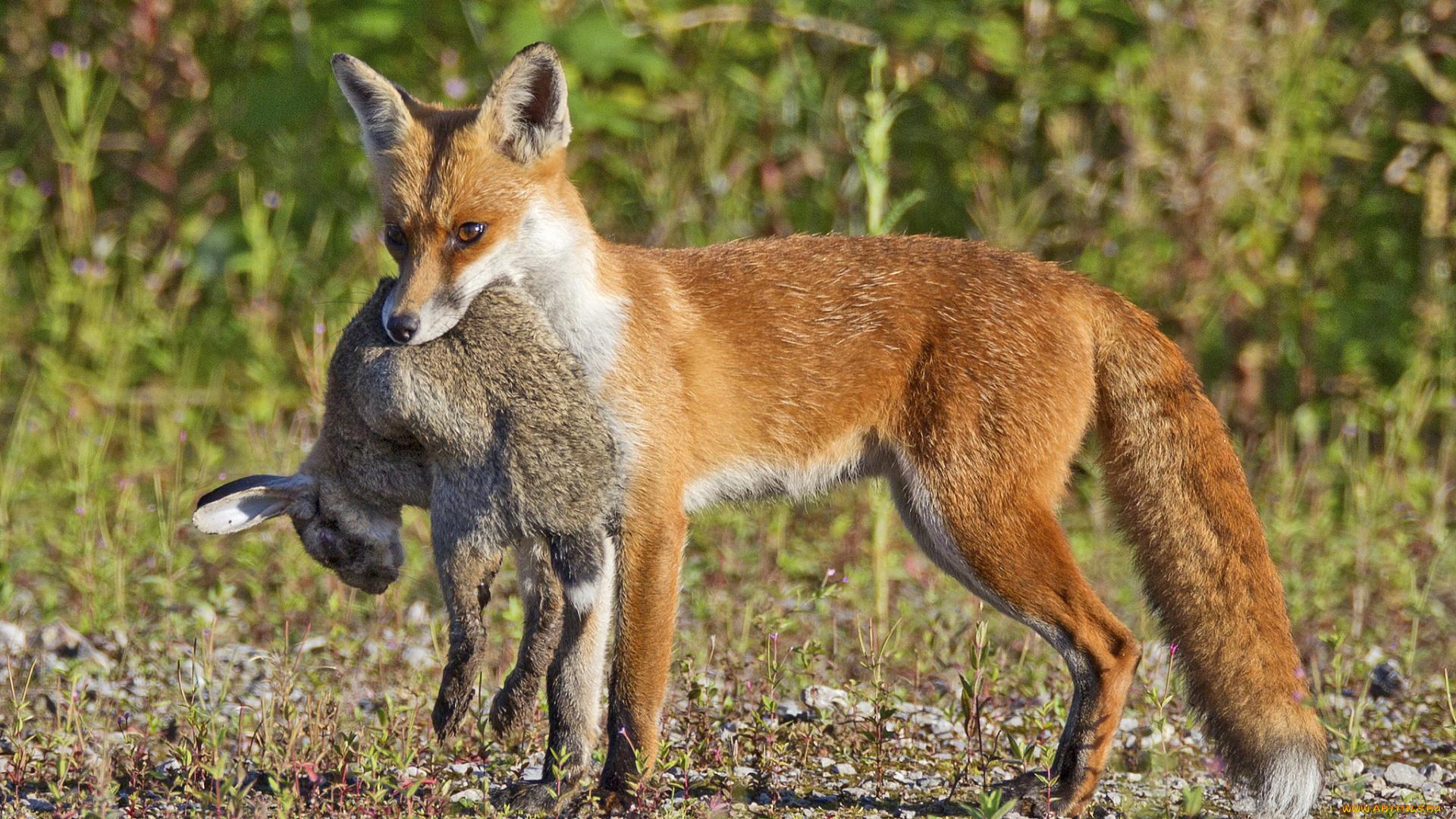 снежинками картинка лиса и кролик в лесу нему близко, становится