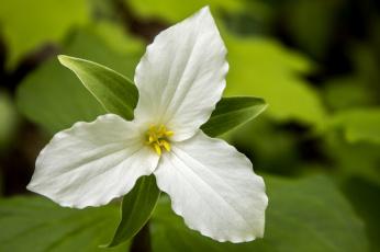 Цветок с тремя лепестками