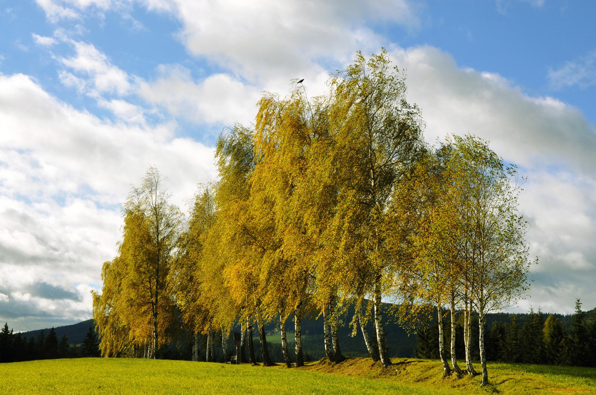 Березы осень лес деревья без смс