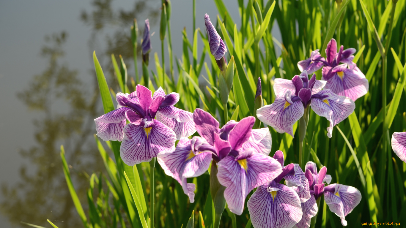 A Complete List of Asian Flowers With Spellbinding Pictures Japanese iris flowers pictures