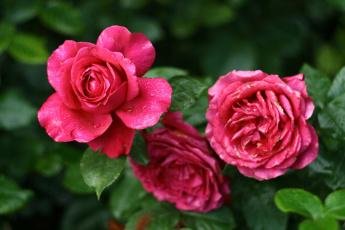 Картинка цветы розы трио