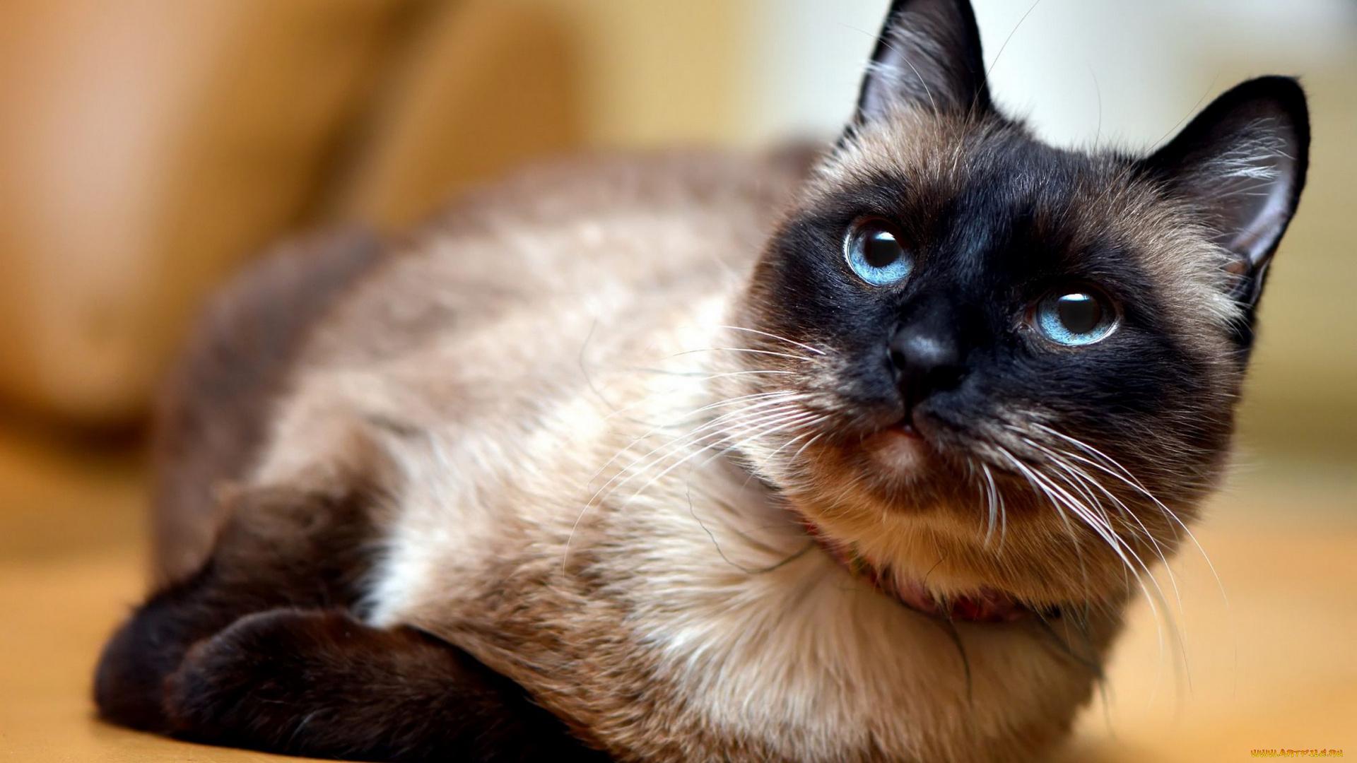 Сеамский кот  № 171487 бесплатно