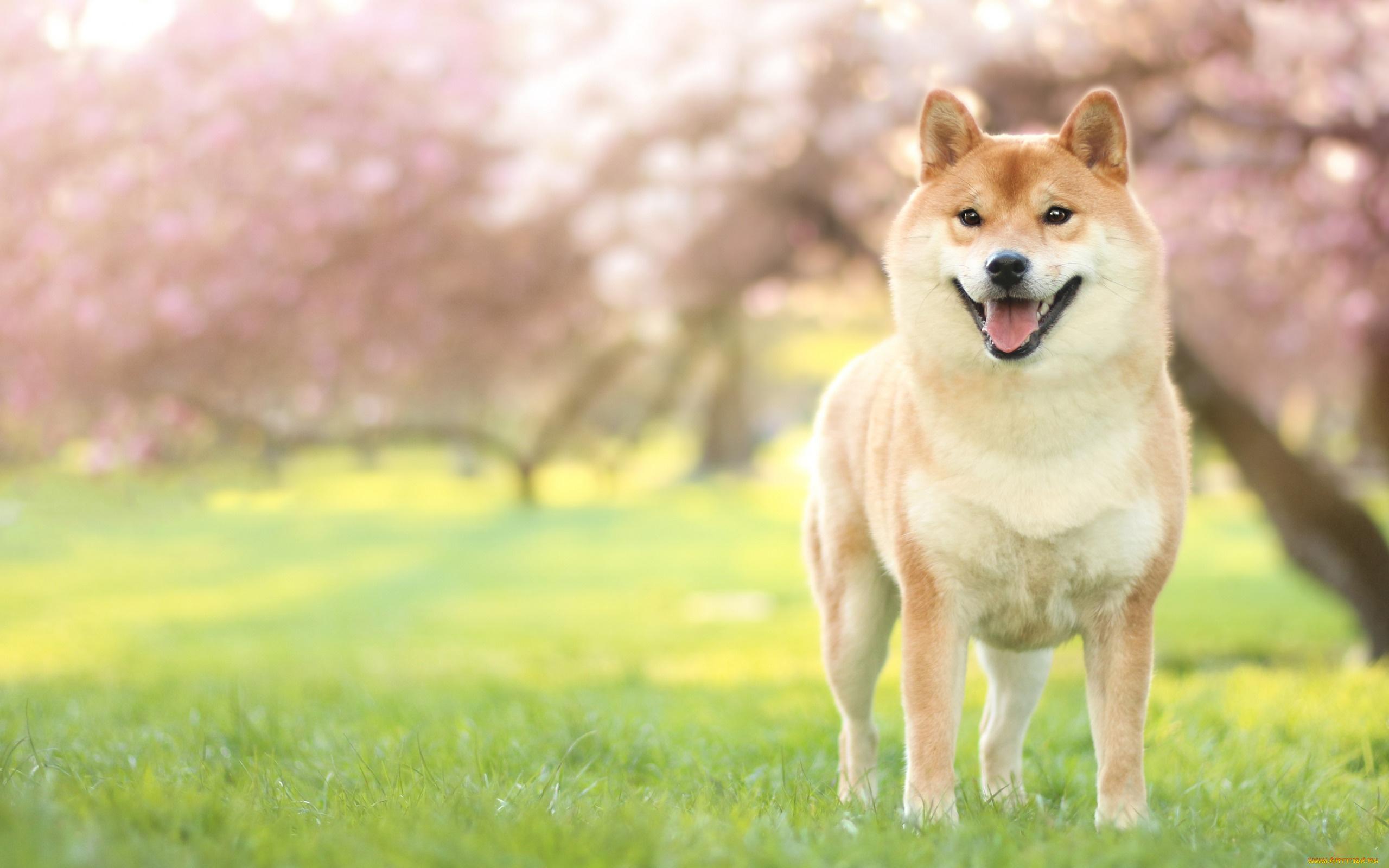 животное собака мару  № 2018065  скачать